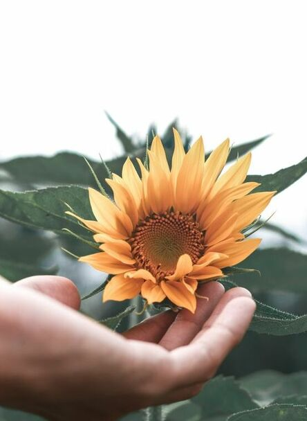 Hand holding a sunflower, supporting growth and healing. Eating disorder and body image therapist in Ottawa, ON.